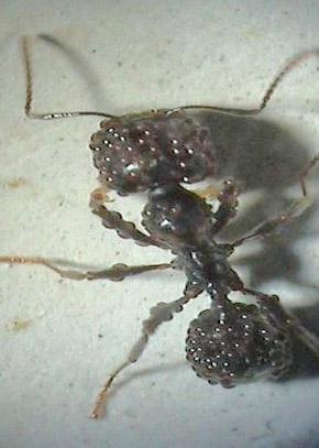 weitere parasiten von ameisen ameisenwiki. Black Bedroom Furniture Sets. Home Design Ideas